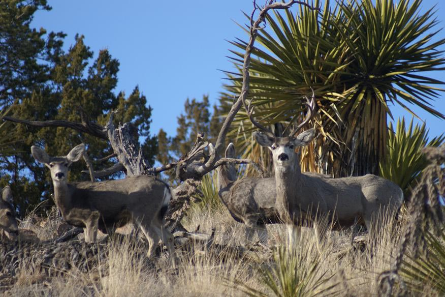 EFFECTS OF SPIKE 20P ON MULE DEER HABITAT