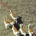 thumb_pronghorn_overview