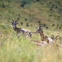 thumb_pronghorn_fawn-survival