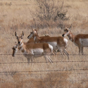 Big Game: Pronghorn