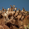 thumb_pronghorn_movements-following-translocation