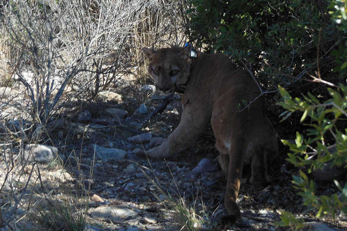 HUMAN-MOUNTAIN LION CONFLICT POTENTIAL AT BIG BEND NATIONAL PARK