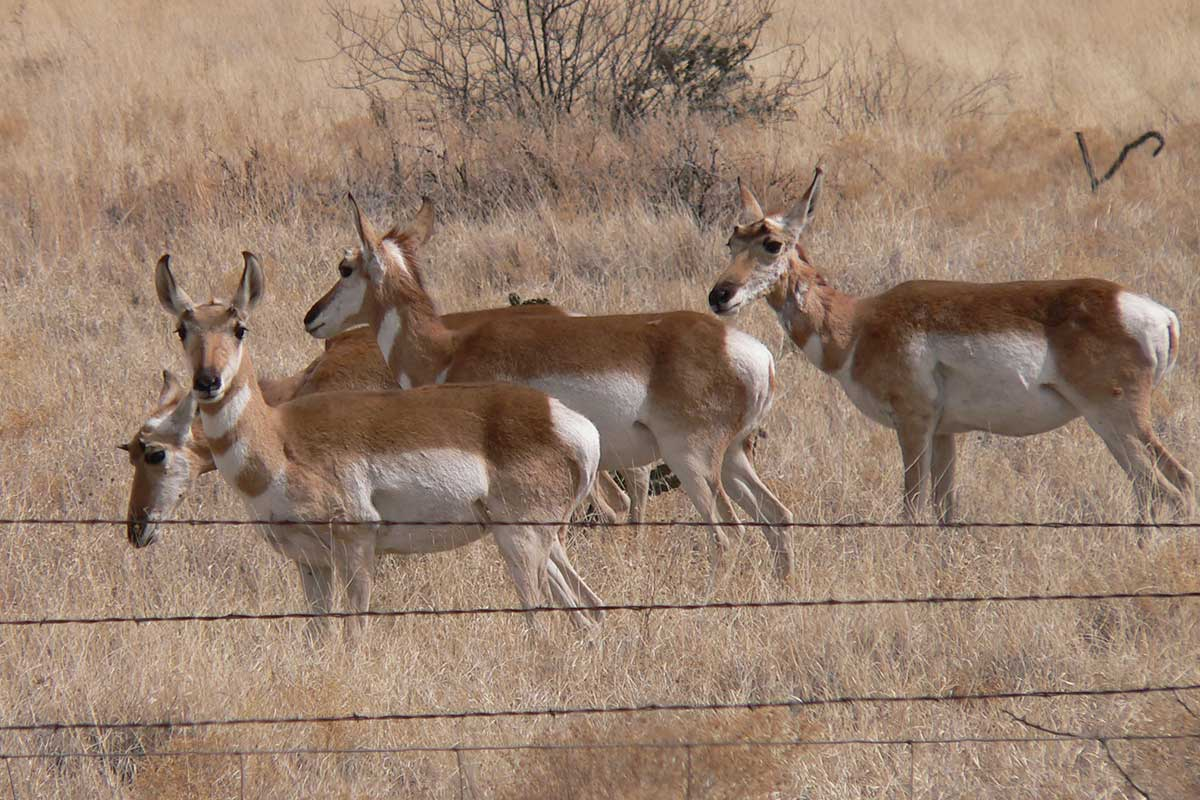 PRONGHORN HABITAT FRAGMENTATION AND GENETICS