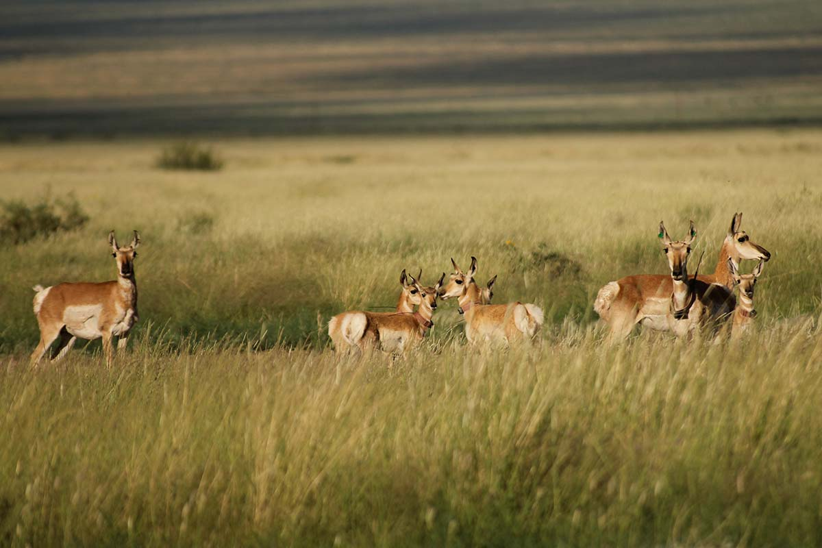 PRONGHORN MOVEMENTS FOLLOWING RESTORATION