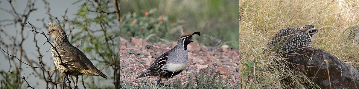 DESERT QUAIL RESEARCH