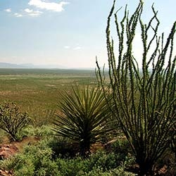 OCOTILLO ECOLOGY AND HARVEST STRATEGIES