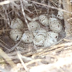 SCALED QUAIL – NESTING ECOLOGY