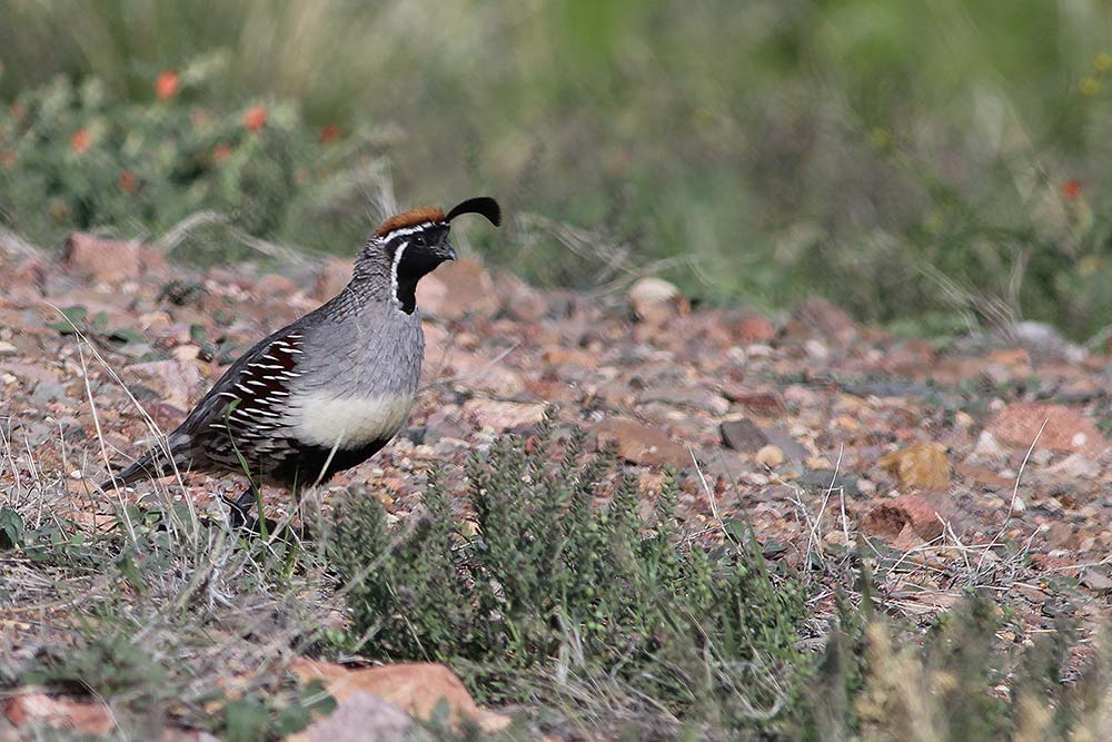 GAMBEL'S QUAIL - ECOLOGY AND MANAGEMENT