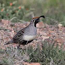 GAMBEL'S QUAIL – ECOLOGY AND MANAGEMENT