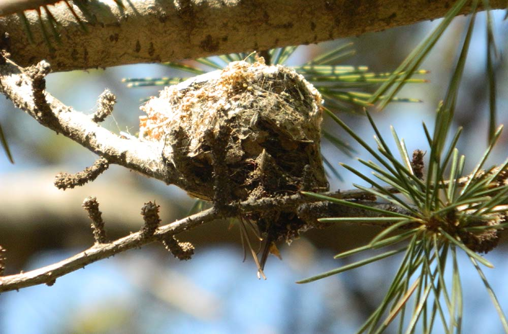 HUMMINGBIRD NESTING ECOLOGY