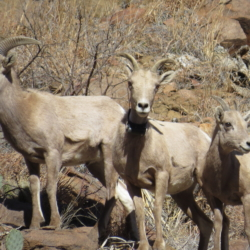 HISTORY OF TEXAS BIGHORNS